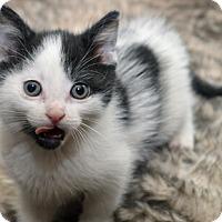 Adopt A Pet :: Anton - Mississauga, Ontario, ON