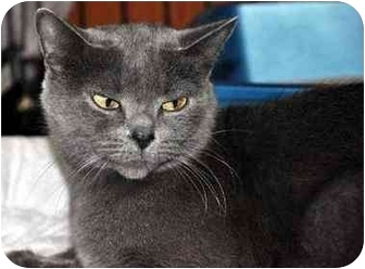 British Shorthair Cat for adoption in Hamilton, Ontario - Misty
