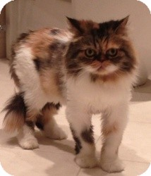 Persian Cat for adoption in Beverly Hills, California - Bitsy