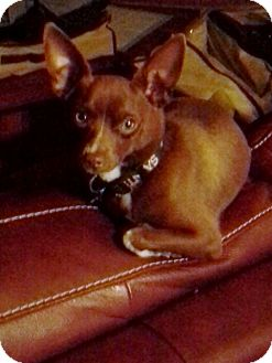 Miniature Pinscher Mix Puppy for adoption in Baton Rouge, Louisiana - Braxton