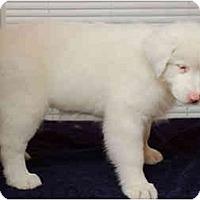 Adopt A Pet :: Ariel - Mesa, AZ