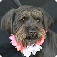 Adopt A Pet :: Liza - Plano, TX