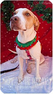 American Staffordshire Terrier/Plott Hound Mix Puppy for adoption in Phoenix, Arizona - Daisy