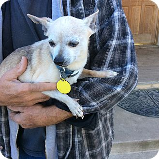 Chihuahua Mix Dog for adoption in Simi Valley, California - Rowdy