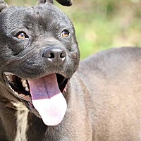 Boxer/Pit Bull Terrier Mix Dog for adoption in Covington, Tennessee - Roman