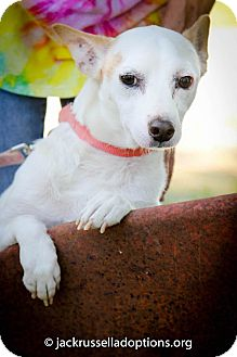Jack Russell Terrier Dog for adoption in Conyers, Georgia - Sparky