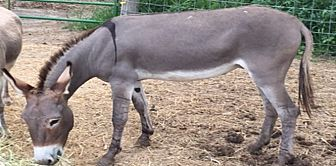 Donkey/Mule/Burro/Hinny Mix for adoption in Malvern, Iowa - Kixs