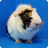 Adopt A Pet :: Fenway - Lewisville, TX