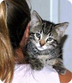 Domestic Shorthair Kitten for adoption in Castro Valley, California - Wilhelm