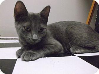 Domestic Shorthair Kitten for adoption in Farmington Hills, Michigan - Flash