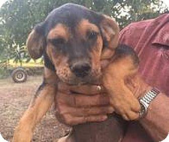Rottweiler Mix Puppy for adoption in Patterson, New York - Otis