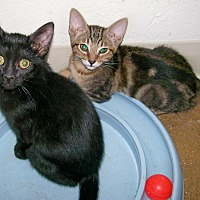 Adopt A Pet :: Midnight - Scottsdale, AZ