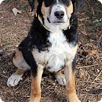 Adopt A Pet :: Sandy - Westminster, CO