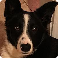 Adopt A Pet :: Theo - Pleasanton, CA