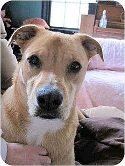 Labrador Retriever/Carolina Dog Mix Dog for adoption in Winnsboro, South Carolina - Simba
