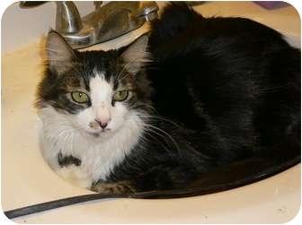 Domestic Mediumhair Kitten for adoption in lake elsinore, California - Camden