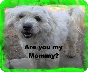 Maltese/Poodle (Miniature) Mix Dog for adoption in Pasadena, California - The little Kisser