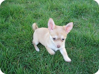 Chihuahua Puppy for adoption in Tumwater, Washington - Chunky