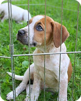 Cattle Dog/Hound (Unknown Type) Mix Puppy for adoption in Albert Lea, Minnesota - Maylee