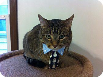 Domestic Shorthair Cat for adoption in Chicago, Illinois - Bongo