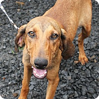 Adopt A Pet :: Daphne in CT - Manchester, CT
