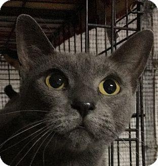 Russian Blue Cat for adoption in Winchester, California - Tamar