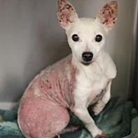 Chihuahua Dog for adoption in Phoenix, Arizona - Precious
