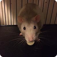 Adopt A Pet :: Lestat - Ann Arbor, MI