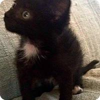 Adopt A Pet :: Little Luna - Jefferson, NC