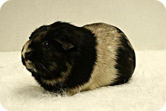 Guinea Pig for adoption in West Des Moines, Iowa - Cookie