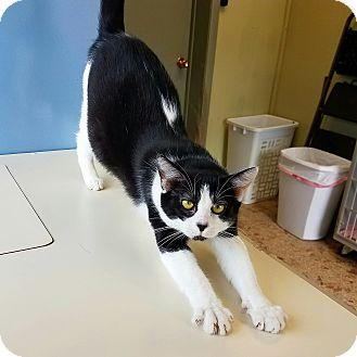 Domestic Shorthair Cat for adoption in Indianola, Iowa - C-22