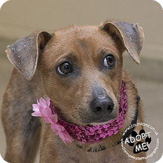 Miniature Pinscher Mix Dog for adoption in Troy, Ohio - Rosie