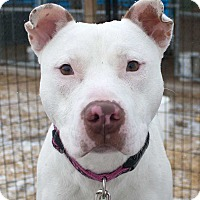 American Bulldog/Bull Terrier Mix Dog for adoption in Fort Madison, Iowa - Hollywood