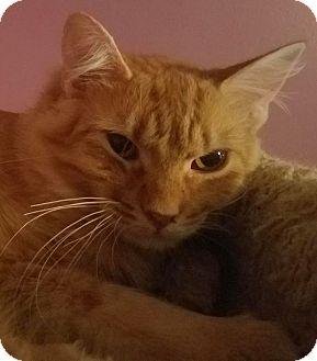 Maine Coon Cat for adoption in Ennis, Texas - Brightfur
