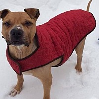 American Staffordshire Terrier Mix Dog for adoption in Whitestone, New York - Harry (Acc)