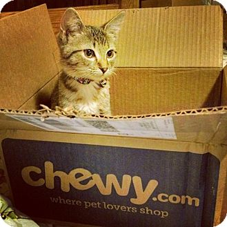 Domestic Shorthair Kitten for adoption in Chicago, Illinois - Pahket