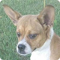 Pug/Beagle Mix Dog for adoption in Lexington, Kentucky - Sweetie