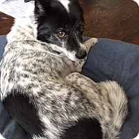 Adopt A Pet :: Toto - House Springs, MO