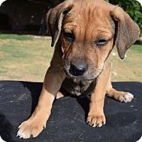 Adopt A Pet :: Arthur - Goodyear, AZ