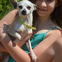 Adopt A Pet :: Cupcake - Vacaville, CA