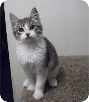 Domestic Mediumhair Kitten for adoption in Modesto, California - Koala
