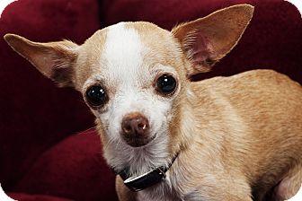 Chihuahua Dog for adoption in Studio City, California - Daisy