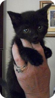 Domestic Shorthair Kitten for adoption in Reston, Virginia - Licorice