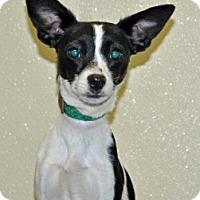 Adopt A Pet :: Twinkle - Port Washington, NY