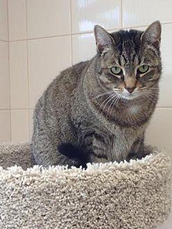Domestic Shorthair Cat for adoption in New York, New York - Lenore (Westhampton)