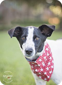Border Collie Mix Dog for adoption in Kingwood, Texas - Shelby