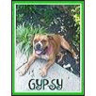 English Bulldog/Boxer Mix Dog for adoption in Milton, Georgia - Gypsy