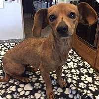 Dachshund/Chihuahua Mix Dog for adoption in Lancaster, California - Tawny