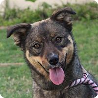 Adopt A Pet :: TEDDIE - Red Bluff, CA