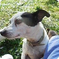 Adopt A Pet :: Spirit - Ormond Beach, FL